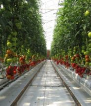 Sundrop Farms Grows Tomatoes with Seawater and 23,000 mirror