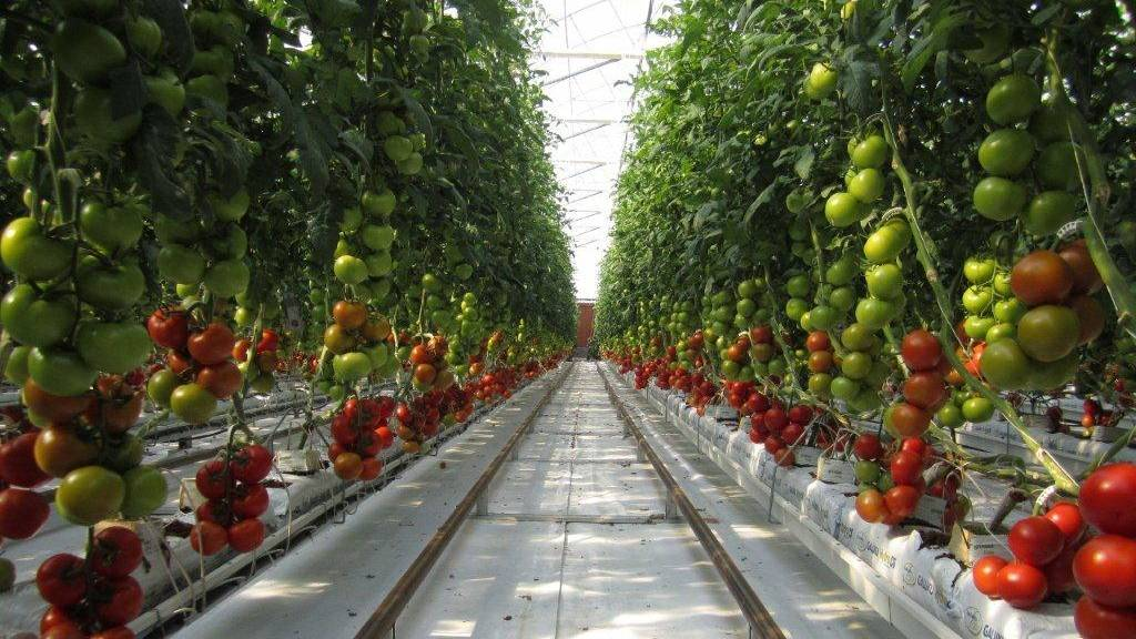 sundrop-farms-grows-tomatoes-with-seawater-and-23000-mirror